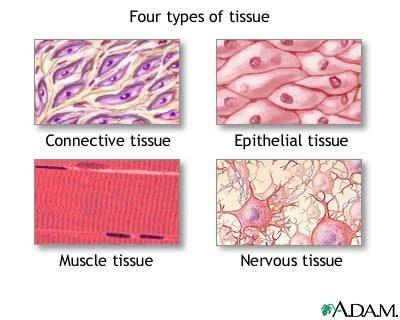 I tessuti animali biologia