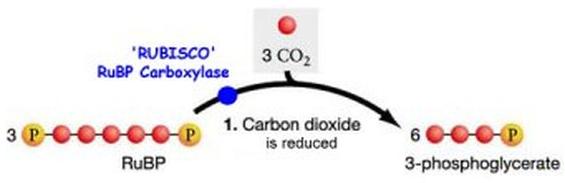 Prima reazione cilco di calvin-Rubisco