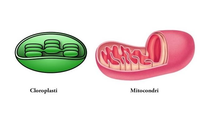 Cloroplasti e mitocondri
