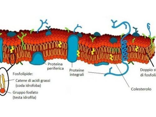 Membrana cellulare struttura e funzioni