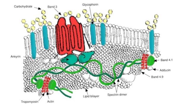 Proteine di membrana dei globuli rossi