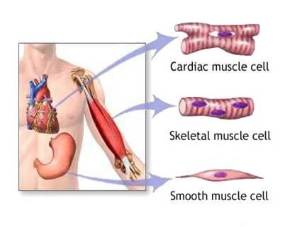 Tipi Di Muscoli Del Corpo Umano Striato Scheletrico E Liscio Muscoli