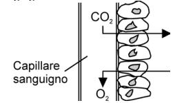 scambio di ossigeno ed anidride carbonica attraverso l'endotelio dei capillari sanguigni