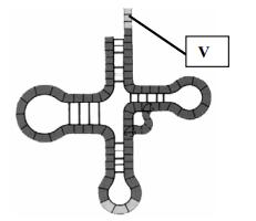 tRNA sito di legame amminoacido