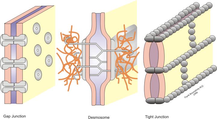 sistemi di giunzione cellulare occludenti aderenti e