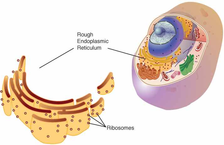 Definizione ribosomi. Definizione semplice dei ribosomi.