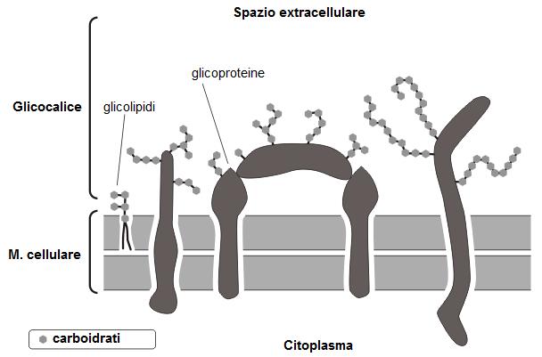 glucidica