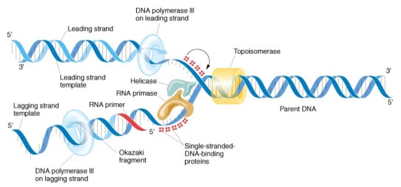 replicazione DNA