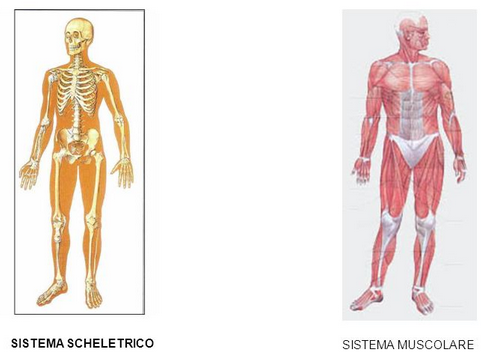 Apparato-locomotore -Anatomia-microscopica
